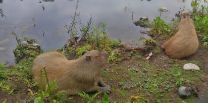 Capibara.