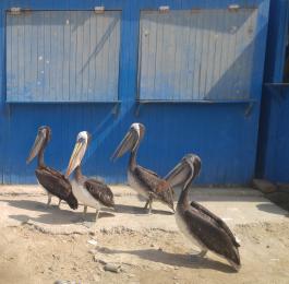 Reserva Nacional de Paracas. Pelícanos Peruanos.