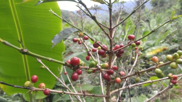 Finca de producción de café.