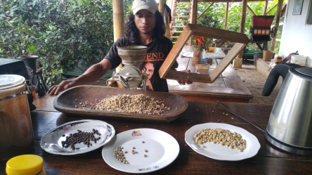 Cribando café.