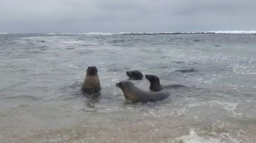 Lobos marinos.