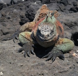 Iguana marina.