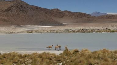 Reserva de Fauna Andina Eduardo Avaroa. Vicuñas.