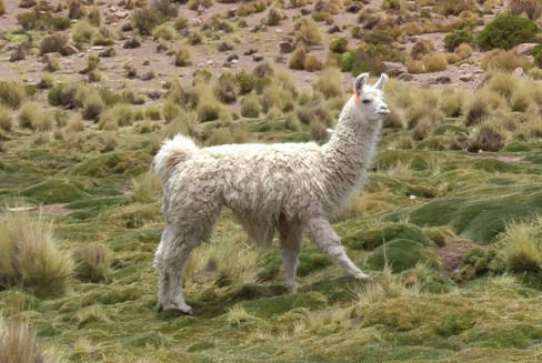 Reserva de Fauna Andina Eduardo Avaroa. Llama.