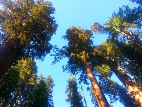 Secuoya Gigante. Parque Nacional de las Secuoyas.
