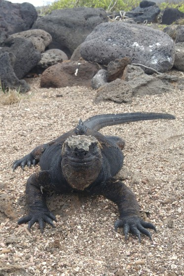 Iguana marina. Loberia.