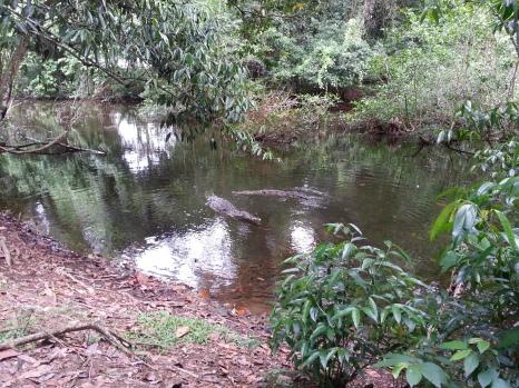 Cocodrilos. Parque Nacional Corcovado.