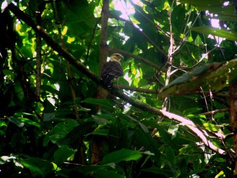Aves. Parque Nacional Corcovado.