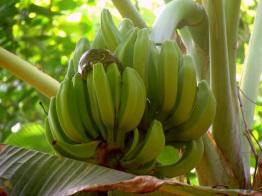 Pitón en plátanos. Parque Nacional Corcovado.