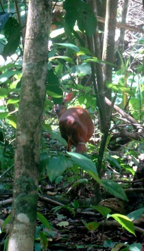 Ciervo. Parque Nacional Corcovado.