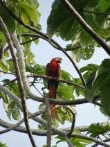 Lapa roja. Parque Nacional Corcovado.
