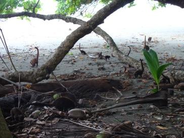 Pizote. Parque Nacional Corcovado.