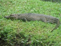 Caimán. Parque Nacional Corcovado.