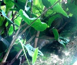 Iguana verde. Parque Nacional Manuel Antonio.