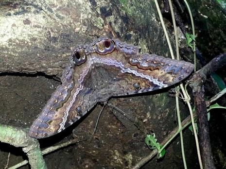 Mariposa nocturna. Parque Nacional Manuel Antonio.