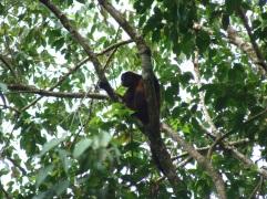 Mono araña. Parque Nacional Corcovado.