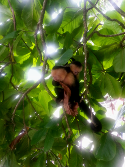 Mono capuchino. Parque Nacional Manuel Antonio.