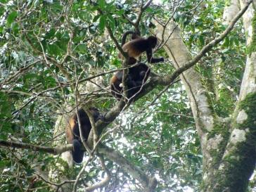 Mono aullador. Parque Nacional Corcovado.