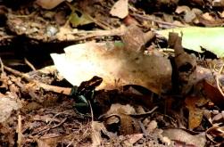 Rana dendrobate. Parque Nacional Corcovado.