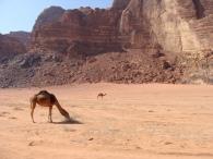 Dromedarios en el desierto de Wadi Rum.