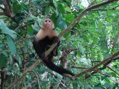 Mono capuchino. Parque Nacional Braulio Carrillo.