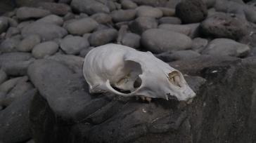Cráneo de lobo marino.