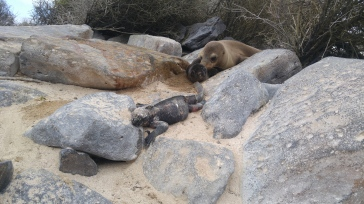 Lobos e iguanas marinas.