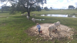 Dande de comer al ganado Cebú.