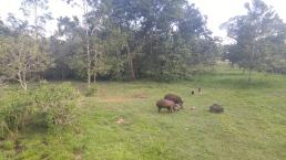 Tapires y cochinos de monte.