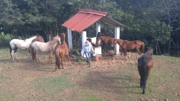 Dando de comer a los caballos.