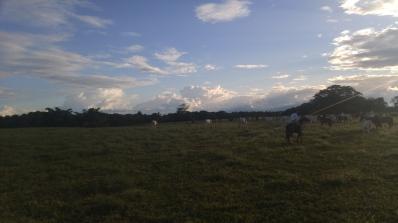 Recogiendo el ganado.