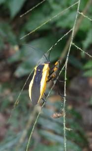 Insectos. Hemíptero. Chinche.