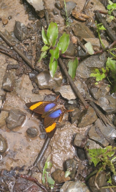 Mariposa camino a la cascada Gocta.