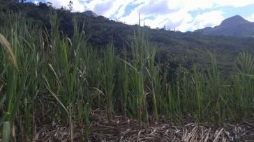 Caña de azúcar camino a la cascada Gocta.