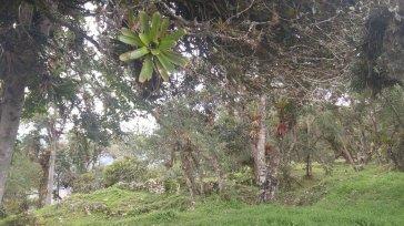 Bromelias en árboles dentro de Kuélap.