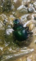 Escarabajo pelotero camino a la cascada Gocta.