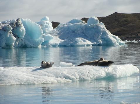 Focas en el Glaciar Vatnajökull.