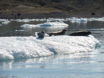 Focas en el Glaciar Vatnajökull
