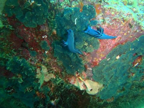 Nudibranquios.