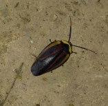 escarabajo en Samaipata.