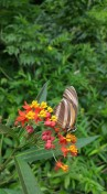 Mariposa selva de Samaipata.