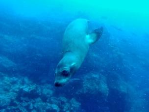 Buceo Floreana, lobo marino.