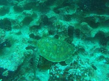Buceo Floreana, tortuga verde.